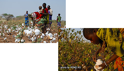 2.HARVESTING COTTON
