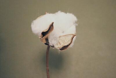 コットンヌーボー2020 綿花と数量の限定